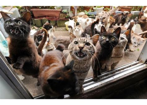 caretaker of japan s cat island is overwhelmed with latest news from cat island japan catster