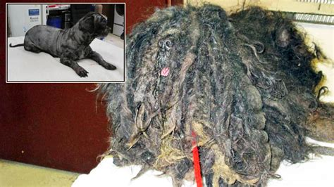 With Matted Fur by That Couldn T Walk Matted Fur Gets Adopted Spca