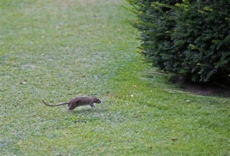 topi in giardino come eliminare i topi in giardino tutto in 1