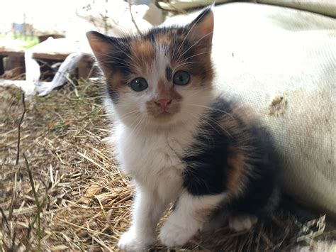 what color are cats calico cat