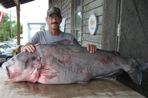 Records Missouri Update St Louis Area Angler Catches 130 Pound Blue Catfish Breaks State And World
