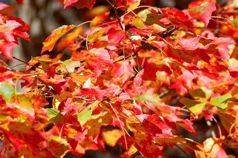 different color trees best maple trees for fall color