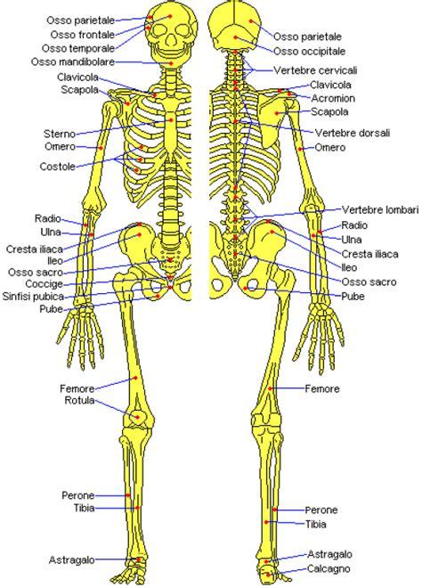 muscolo sedere la figura umana alcolore