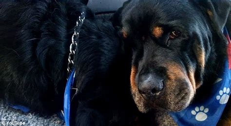 shih tzu has watery brutus the rottweiler grieves the lifeless of his dead hank daily