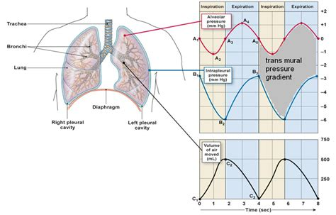 When Breath Becomes Air Pb my biomedical notebook respiratory physiology