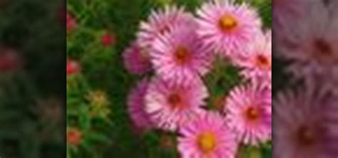 how to divide asters 171 gardening