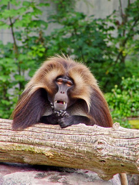 gelada baboon gelada baboon    zoo  zuerich tambako  jaguar flickr