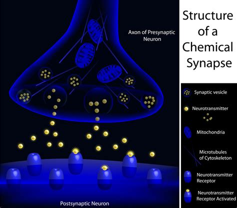 chemical synapse diagram the chemical synaptic transmission how it happens