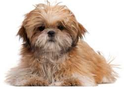 how to groom a shih tzu at home how to groom a shih tzu at home shih tzu grooming kit helps