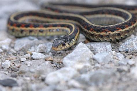 Garter Snake Facts Garter Snake Crawling On Gravel Snake Facts And Information
