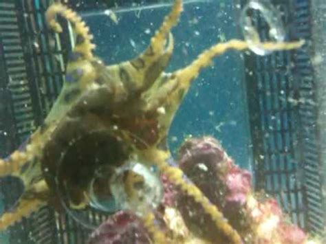 deadliest catch octopus blue ringed octopus vs crab