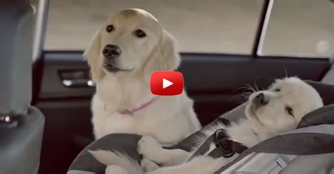 subaru commercial with golden retrievers shareyourfreebies page 96