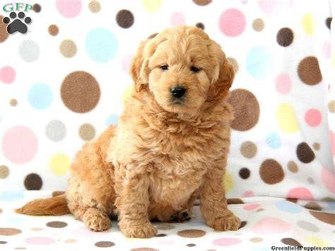 goldendoodle puppy hyper 72 best mini goldendoodles images on