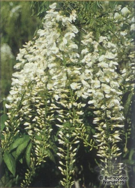 wisteria from burncoose nurseries