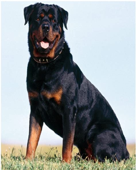 lifespan of rottweiler most expensive dogs in the world