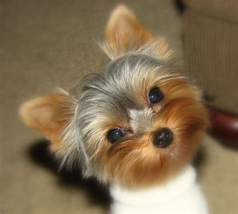 yorkie tear stains yorkies makes me smile yorkies yorkie and cutest puppy
