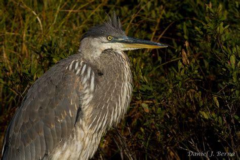 Daniel Berna Photography Great Blue Heron Juvenile Blue Heron Nh 2