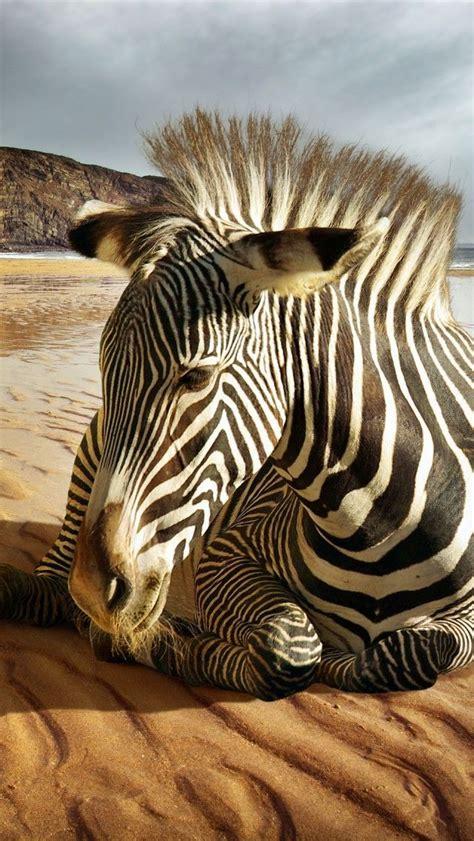 zebra wallpaper pinterest 1000 ideas about zebra wallpaper on pinterest cool