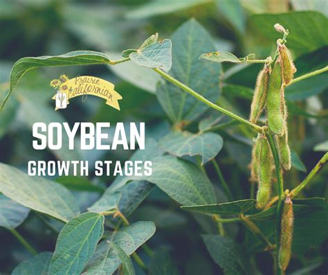 Prairie Style Home Soybean Growth Stages