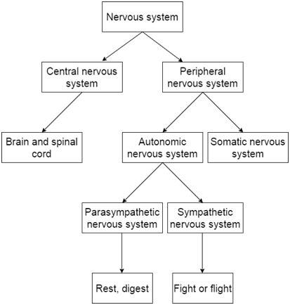 flow diagram of nervous system nervous system flowchart flowchart in word
