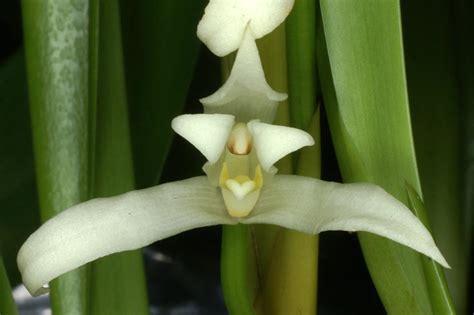 maxillaria alba