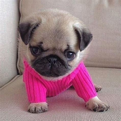 baby pug names 25 best ideas about images of pugs on pug names baby pugs and pug puppies