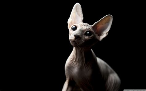 wallpaper egypt cat sphynx cat wallpapers fun animals wiki videos pictures