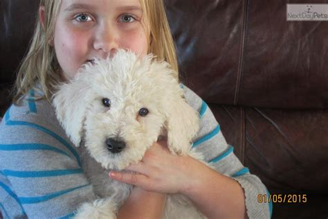 komondor puppies for sale near me komondor puppy for sale near nashville tennessee 763c0dcf c9b1