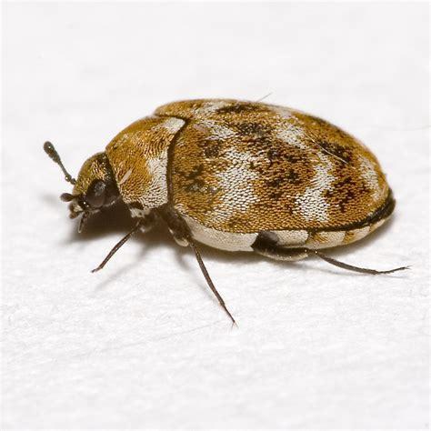käfer in der wohnung bestimmen wollkrautbl 252 tenk 228 fer