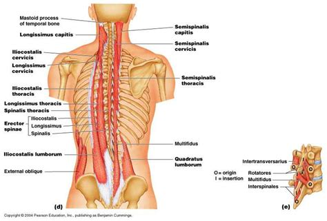 dolore alla gabbia toracica schiena molto i muscoli della schiena qf28 pineglen