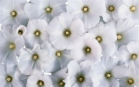 white flower images 169 flower backgrounds wallpapers pictures images