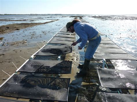 best oysters in cape cod barnstable oyster cape cod aquaculture