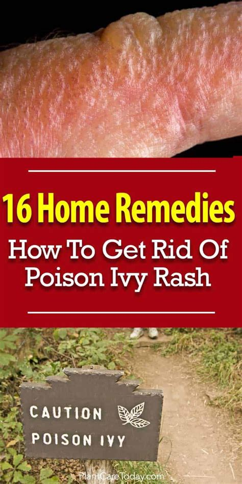 best 25 poison ivy plants ideas on pinterest poison oak