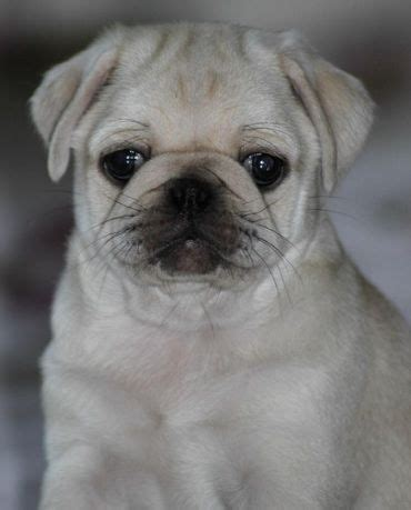 pictures of white pugs 231 best images about white pug puppies on puppys pug and deere