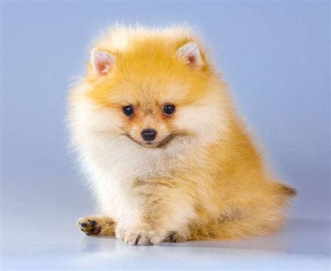 names for pomeranian puppies 227 best pomeranian dogs images on pomeranian dogs dogs and pom poms