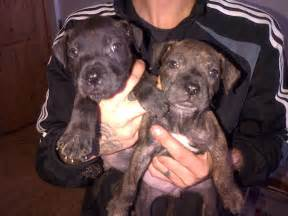 Years ago for sale dogs staffordshire bull terrier rotherham