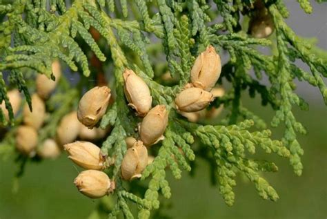 thuja for warts 34 proven home remedies for warts on