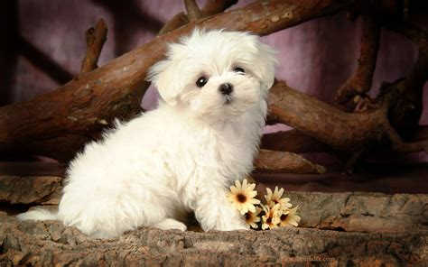 beautiful puppy dogs dogs hd wallpapers