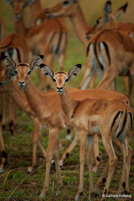 Boneka Bantal Running Serengeti Animal Kingdom 103 best images about animals deer related on reindeer deer and tanzania