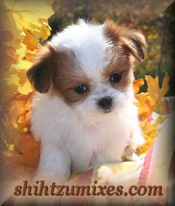 chicago puppies for sale malshi puppies for sale in chicago area