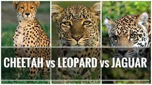 What Is The Difference Between Jaguar And Panther 1713 Best Ideas About Pins You Must See On