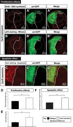 differential regulation of cyclin e by yorkie scalloped