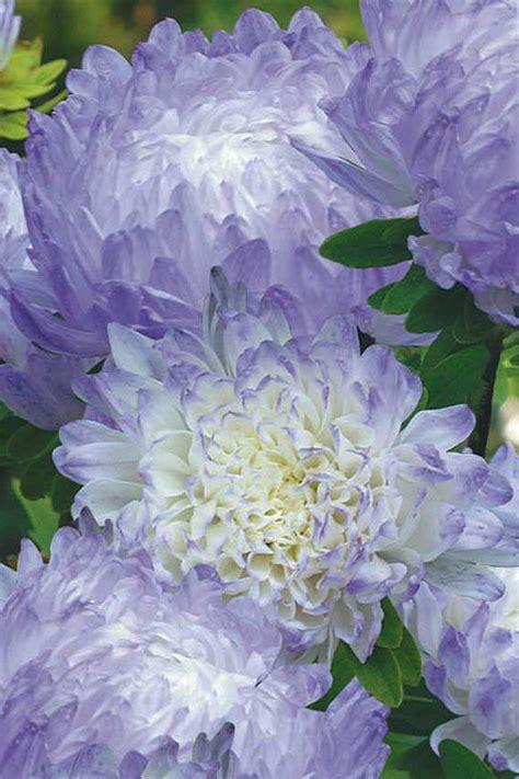 Benih Bunga Aster jual biji benih bunga aster duchess blue cedrus