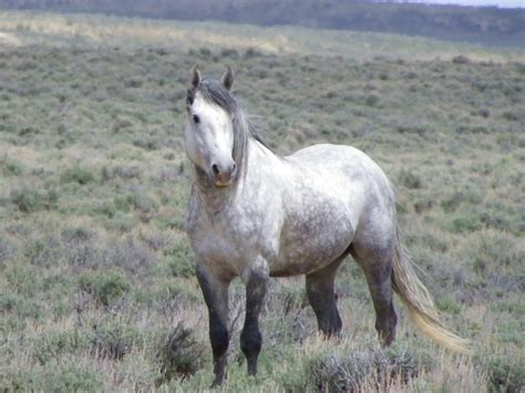 pictures mustang horse with smoke dapple gray mustang stallion sand wash basin wild horses
