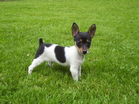 fox terrier puppies for sale near me fox terrier puppy dogs breeds picture
