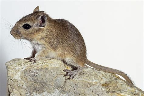 Green Colored Rooms by Guide To Gerbils As Pets
