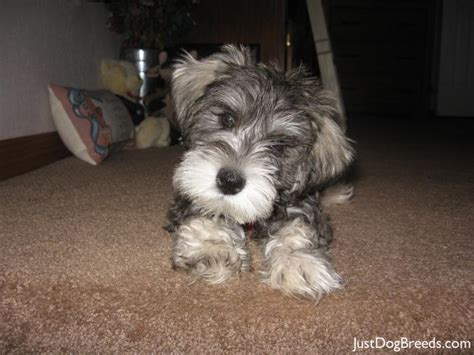 miniature schnauzer dog breed ozzy miniature schnauzer dog breeds