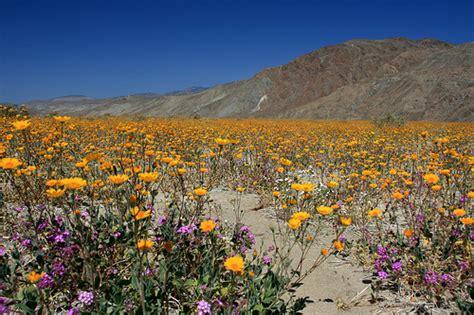 anza borrego wildflowers wildflowers in anza borrego desert state park flickr