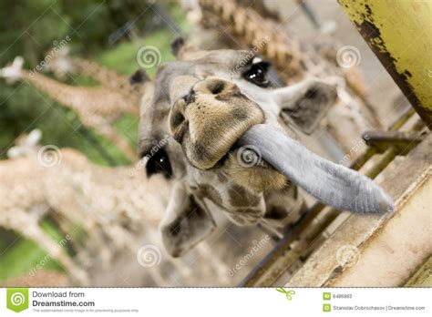 with tongue hanging out giraffe with one s tongue hanging out stock photos image 6486883