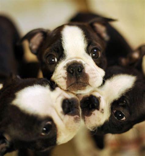 boston terrier puppies jacksonville fl boston terrier rescue jacksonville fl dogs our friends photo